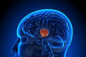 هیپوتالاموس مغز