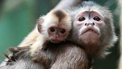 آبله میمونی